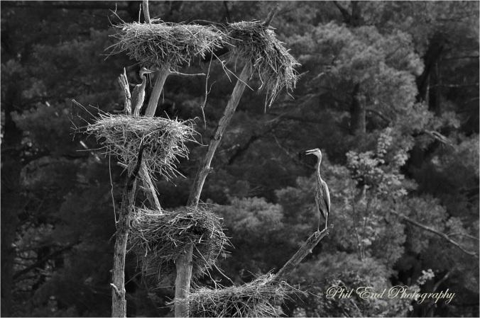 BW herons